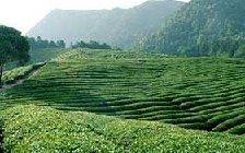2020信阳毛尖茶市场价格多少钱一斤?
