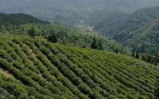 信阳茶叶都有哪些品种?都有哪些特点?