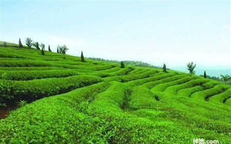 最贵茶叶多少钱一斤